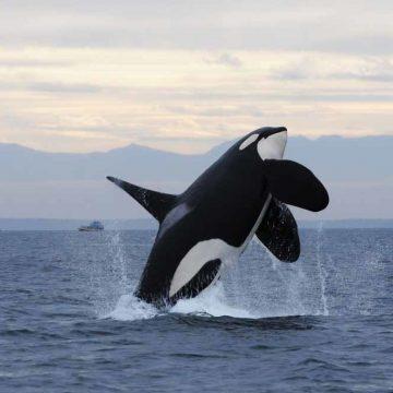 Deze killer whale eet vooral tonijn