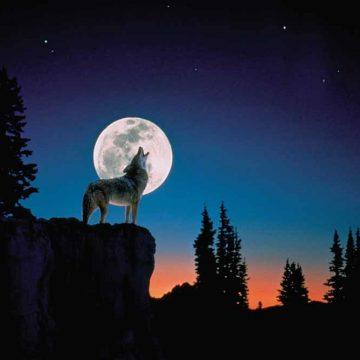 De wolf die zich niet aan de regels hield