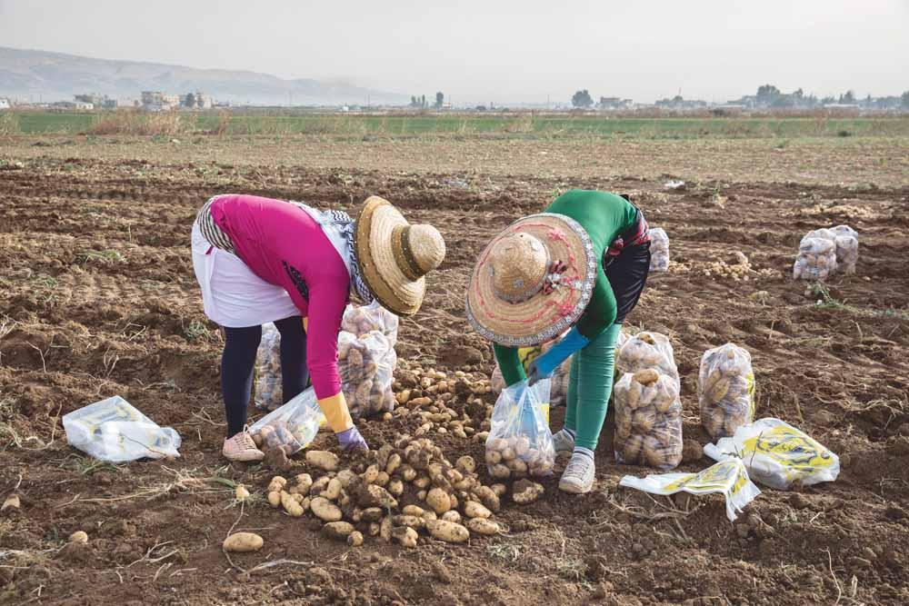 In Libanon wordt veel gebruikgemaakt van vluchtelingen als goedkope arbeidskrachten. Door de leiding van de vluchtelingenkampen worden ze gekoppeld aan lokale boeren. De omstandigheden zijn zwaar, de arbeiders verdienen maximaal 8 dollar per dag en maken dagen van 15 uur