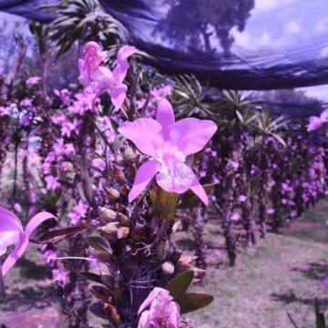 Orchideeënstroperij: hoe een bloeiende onlinehandel deze zeldzame bloemen bedreigt