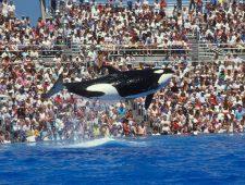 Morgan de orka is gered, maar voor altijd gevangen