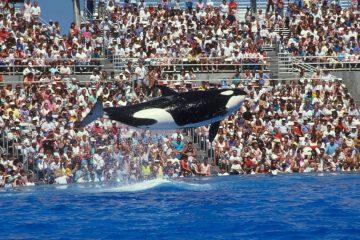 Hoe Morgan de orka het symbool werd van menselijke zelfzucht