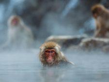 Wat de Japanse sneeuwaap ons leert over cultuur bij dieren