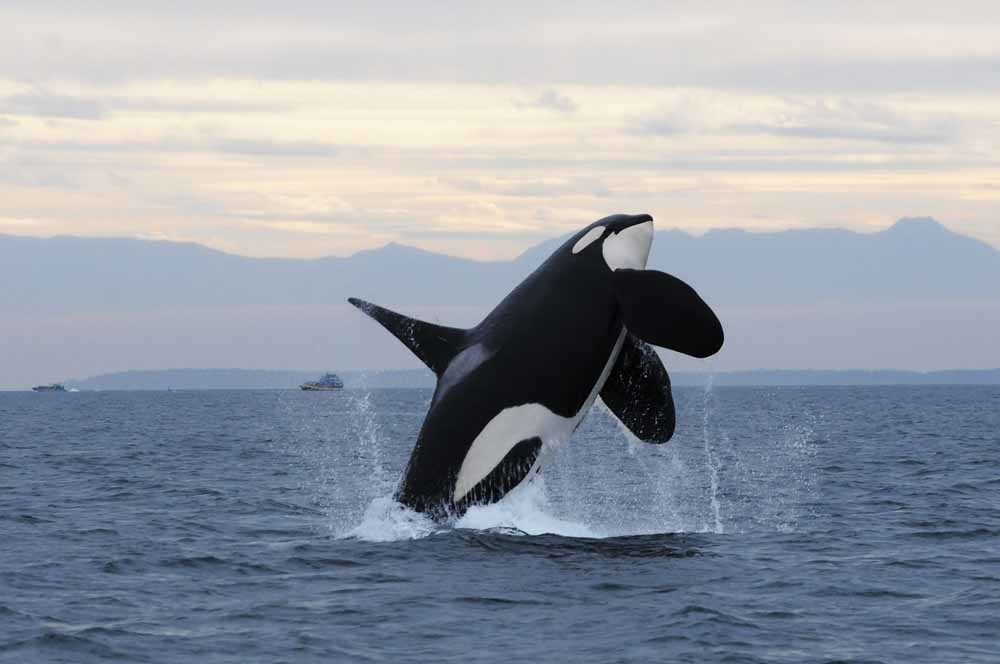 © Courtesy Center for Whale Research