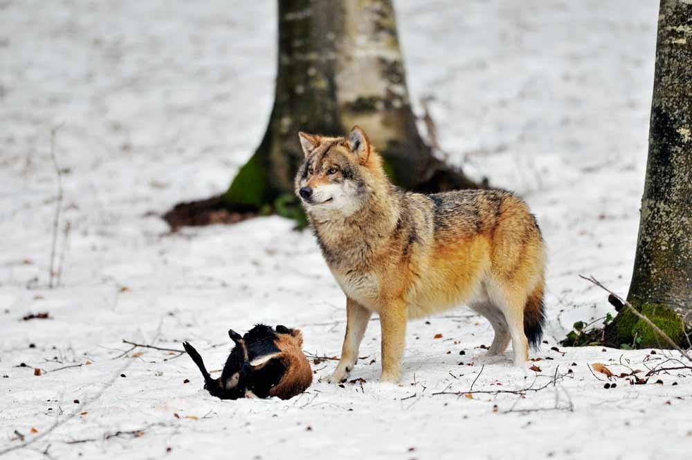 Een wolf met een dode geit in Beieren, Duitsland. – © Getty Images