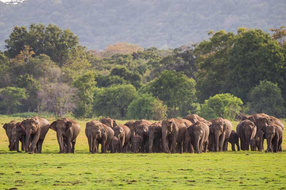 Olifanten kunnen laagfrequente infrageluidsgolven opvangen; overeenkomstige trillingen in de grond zouden ze via hun zolen waarnemen. – © Will Burrard-Lucas / Getty