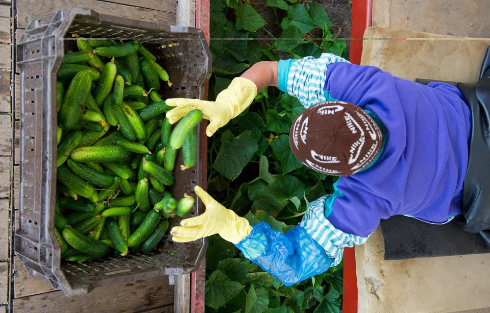 Een Roemeense seizoenarbeider oogst komkommers bij een bedrijf in het Duitse Vetscha. - © Patrick Pleul