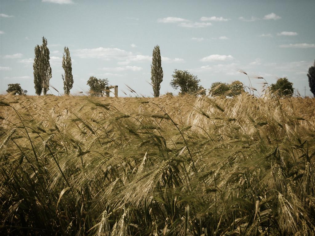 Een graanveld in Roemenië. -  © Florin Gorgan / Flickr