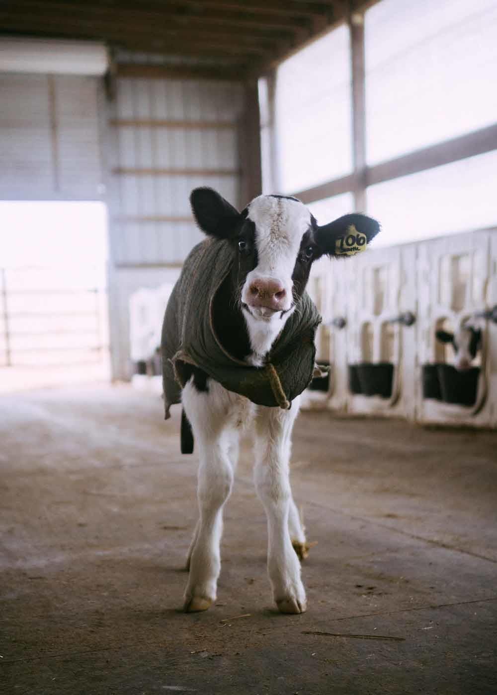 In de melkveehouderij wordt aangeraden om het kalf binnen een uur na de geboorte bij de moeder weg te halen, om de traumatische impact van de scheiding zo klein mogelijk te houden.