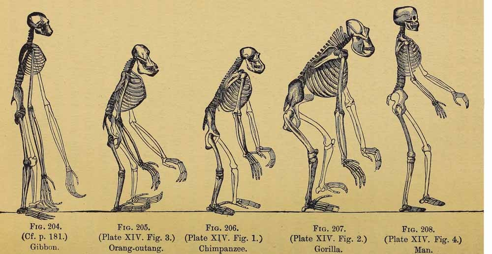 Illustratie uit  The evolution of man: a popular exposition of the principal points of human ontogeny and phylogeny (1896) van Ernst Haeckel. – © Wikipedia
