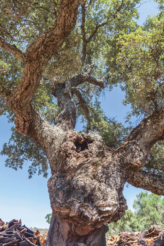 'De pampaboom en de johannesbroodboom, de wierookboom, de quebracho en de kurkeik (foto), die eeuwenoude bomen zien mensen komen en gaan, zien mensen sterven, maar zij blijven leven, vallen niet om; ze lijken onsterfelijk.' – © Getty