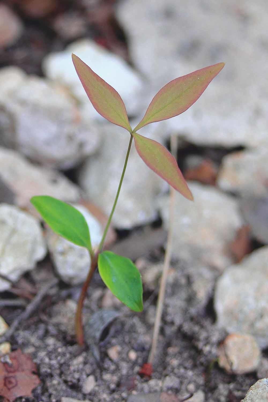 Een zaailing van de Hemelse bamboe (Nandina domestica). Bomen zijn in staat hun nageslacht te herkennen en zorgen eerder voor een verwante zaailing dan voor een niet-verwante zaailing.  © Emmanuel Douzery / Wikipedia