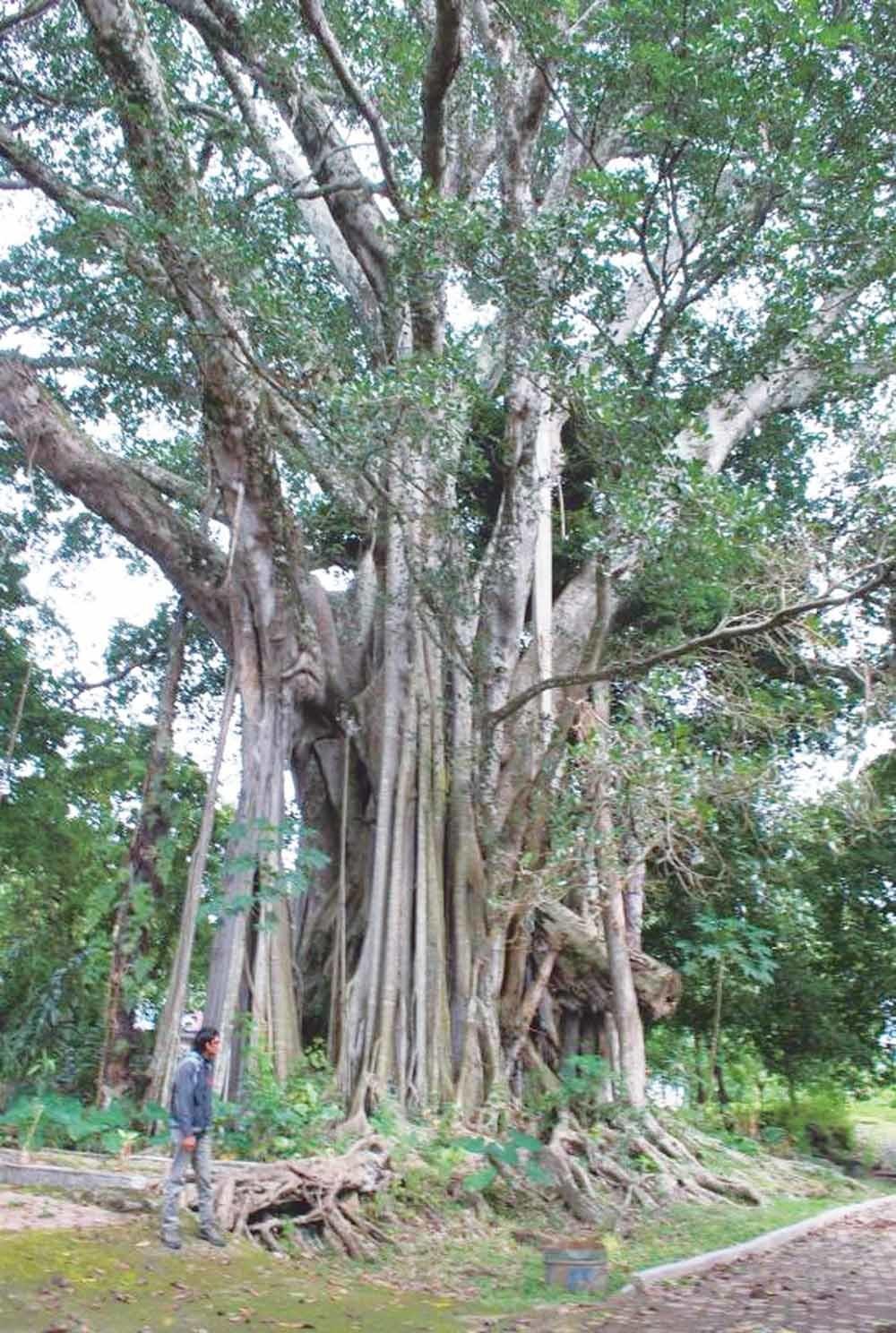 De hariara sundung di langit, oftewel de wolkenkrabberboom, geldt als de  grootste van het universum. – © vaiqbo.blogspot.com