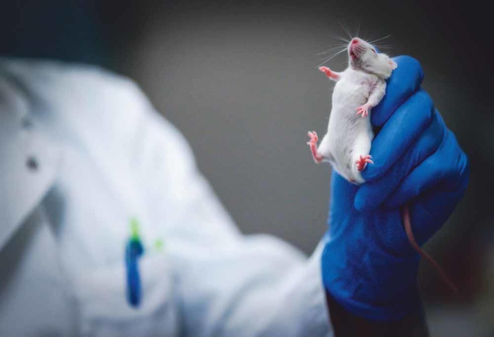 Een medewerker van het Centraal Dierenlaboratorium van het Radboudumc verzorgt muizen voor onderzoek naar schisis. – © Robin van Lonkhuijsen / ANP