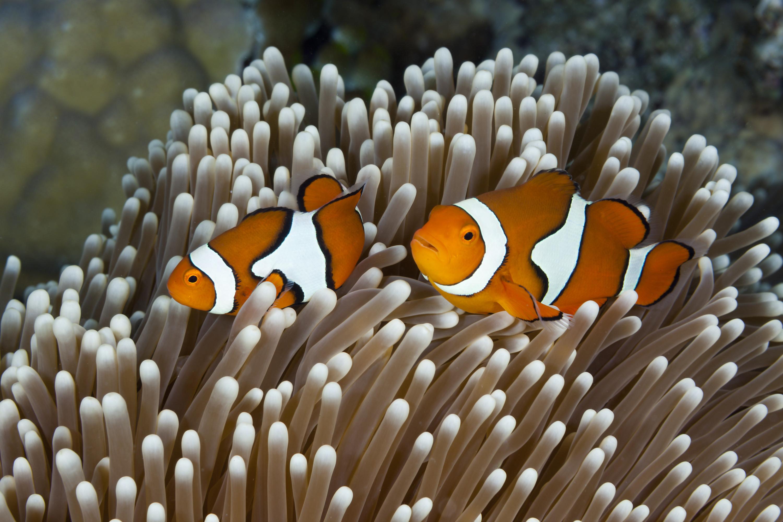 Twee clownvisjes bij een Australisch rif. Nadat Finding Nemo uitkwam waren ze ongekend populair voor aquaria en werden ze volop gekweekt.