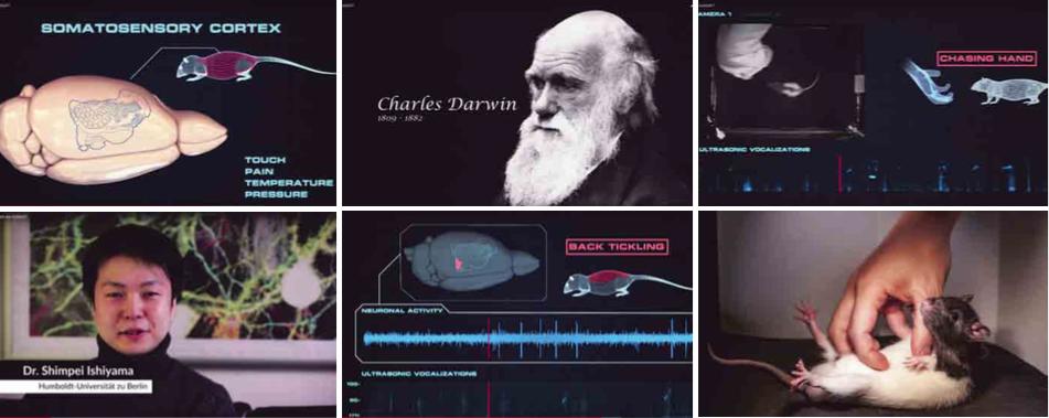 Darwin en Aristoteles hielden zich al bezig met kietelen bij mensen, onderzoekers uit Berlijn ontdekten onlangs dat ook ratten er plezier aan beleven.